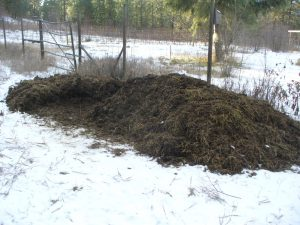 The goat manure pile, half turned over.