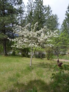 Pie Cherry Tree in Bloom