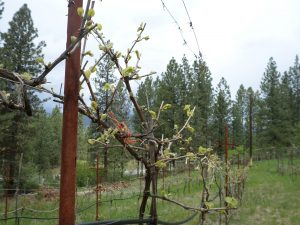 The vines are budding