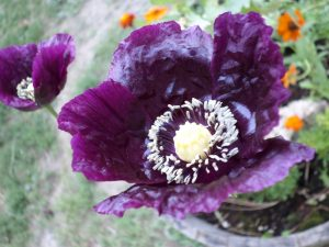 Cheryl's Poppies survived the June 3rd hail storm